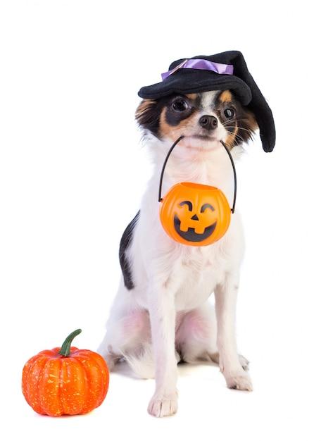 Chihuahua com uma caixa de halloween com uma abóbora Foto Premium