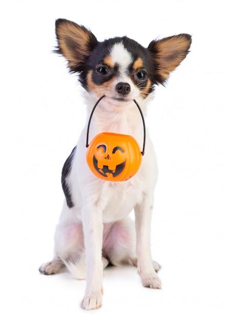 Chihuahua com uma lanterna de halloween Foto Premium