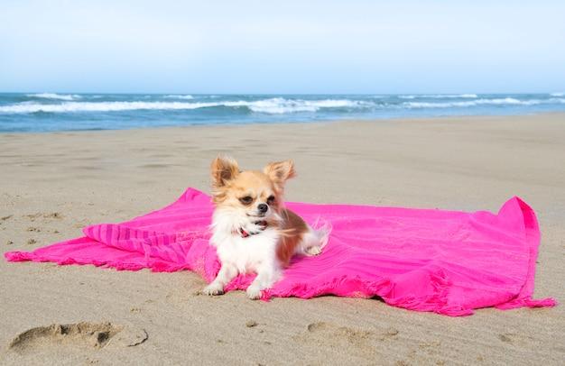 Chihuahua na praia Foto Premium