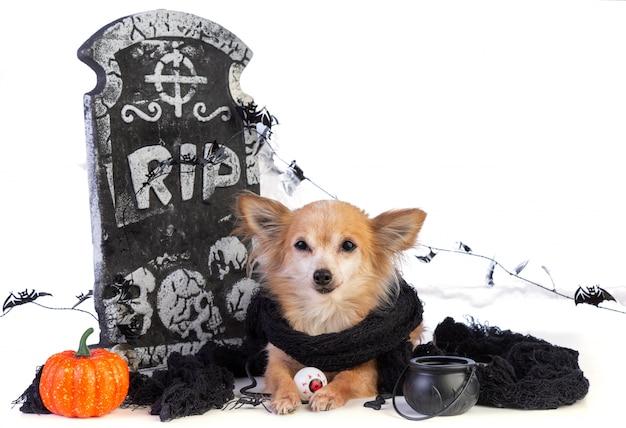 Chihuahua para halloween com decoração de lápide Foto Premium