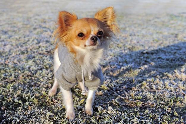 Chihuahua vestida no inverno Foto Premium