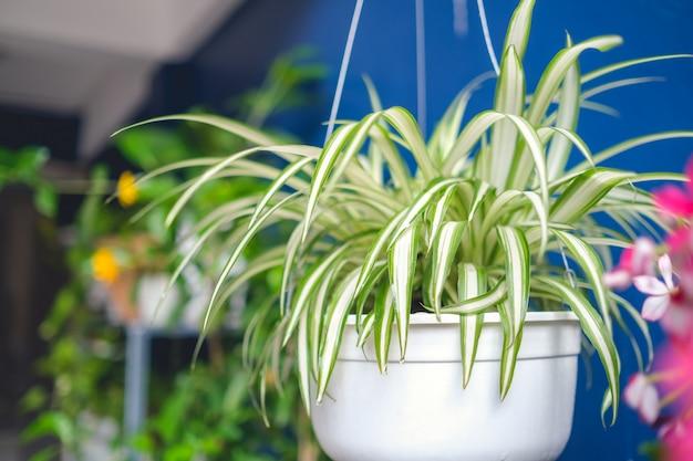 Chlorophytum comosum, planta de aranha em vaso / cesto de suspensão branco, plantas de purificação de ar para uso doméstico, planta de interior Foto Premium