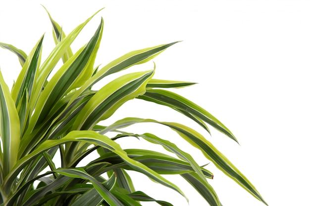 Chlorophytum - plantas perenes de floração perene Foto Premium