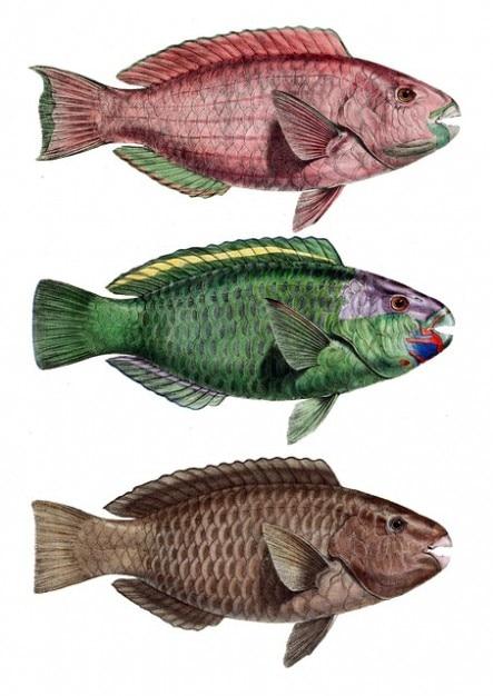 Chlorurus barra troschelii peixes poleiro papagaio entalhada Foto gratuita