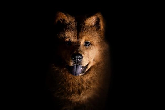 Chow chow cachorrinho visto de frente deitado olhando para a câmera isolada em um preto Foto Premium