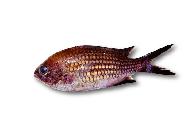 Chromis chromis damselfish rock peixe isolado Foto Premium