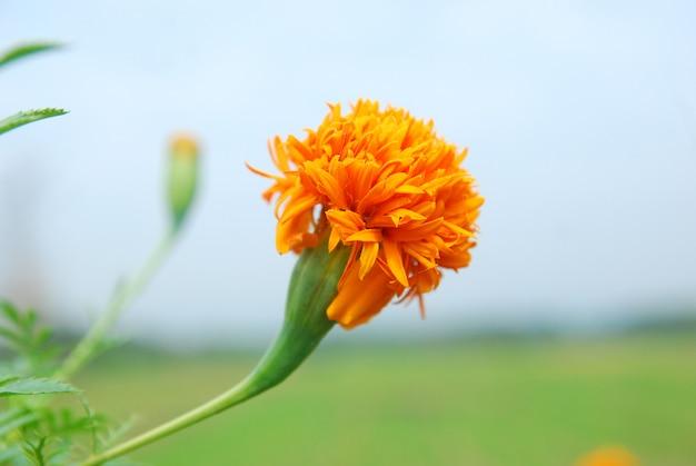 Chrysanthoms florescem no jardim Foto Premium