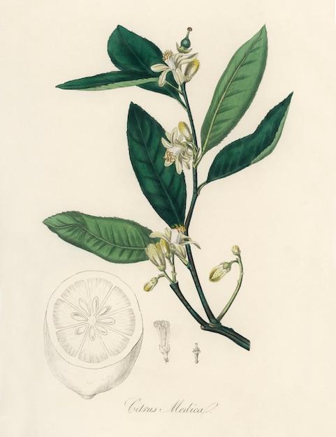 Cidra (citrus medica) ilustração de medical botany (1836) Foto gratuita