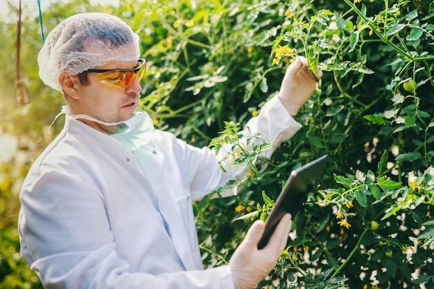 Cientista caucasiano sério no uniforme estéril usando a tabuleta e verificando o crescimento do tomate na casa verde. Foto Premium