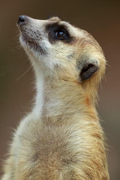 Cima, ligado, watchful, meerkat, stading, guarda Foto Premium