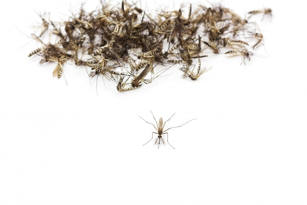 Cima, mosquito, isolado, branco Foto Premium