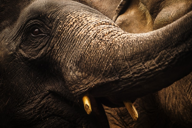 Cima, retrato, de, elefante, ásia Foto Premium
