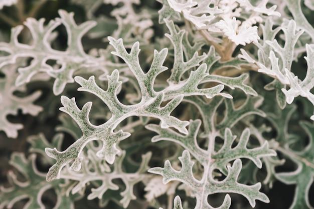 Cinza verde folhas de cineraria em macro Foto Premium