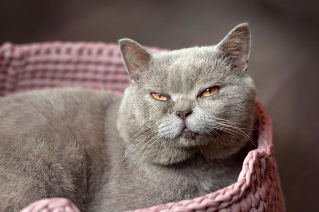 Cinzento gato escocês com sono com olhos amarelos encontra-se em uma cama de gato rosa Foto Premium