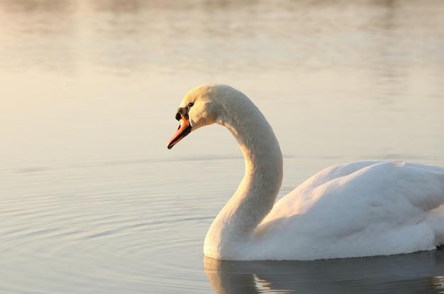 Cisne ao amanhecer Foto Premium