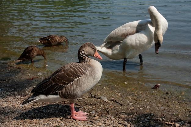 Cisne bonito no rio Foto Premium