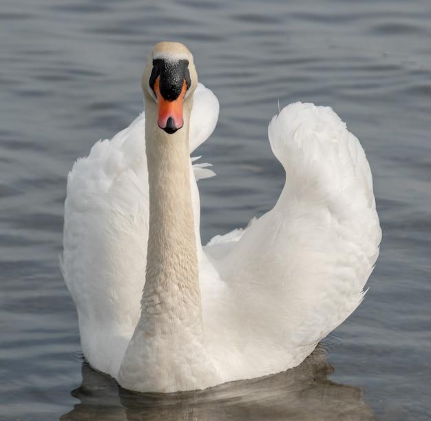Cisne branco na água do lago. cisne na água. cisne branco na natureza. Foto Premium