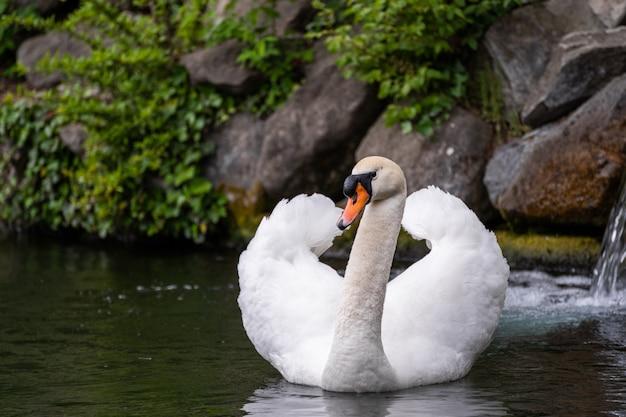Cisne branco nadar na cena da água Foto Premium
