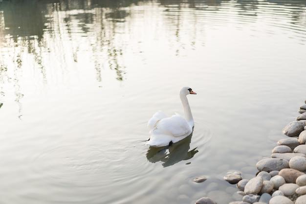 Cisne nada na lagoa Foto Premium