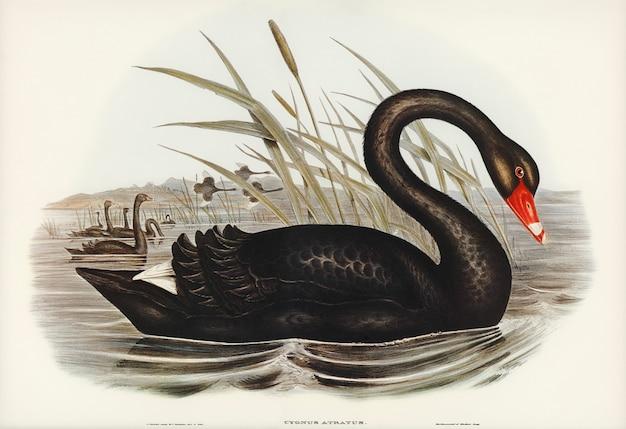 Cisne negro (cygnus atratus) ilustrado por elizabeth gould Foto gratuita