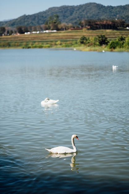 Cisne no lago Foto gratuita