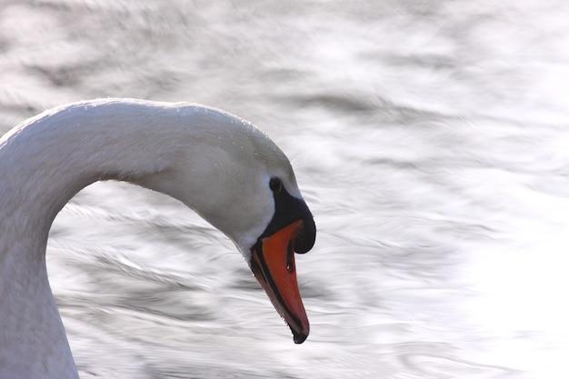 Cisne selvagem mudo em seu lago em frança. Foto Premium