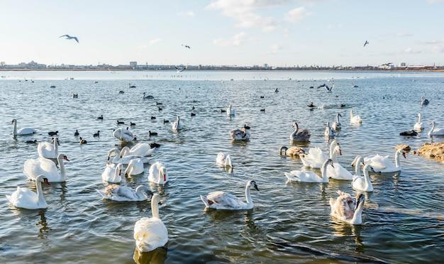 Cisnes brancos no lago Foto Premium