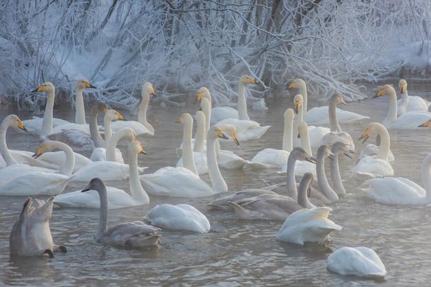 Cisnes perto do lago Foto Premium