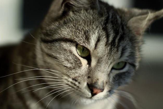 Close da cabeça de um gato cinza com padrões pretos Foto gratuita
