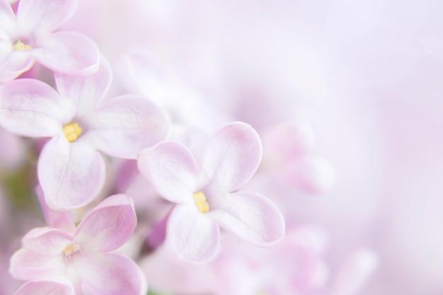 Close de flores lilás, sobre um fundo desfocado de um arbusto lilás Foto Premium