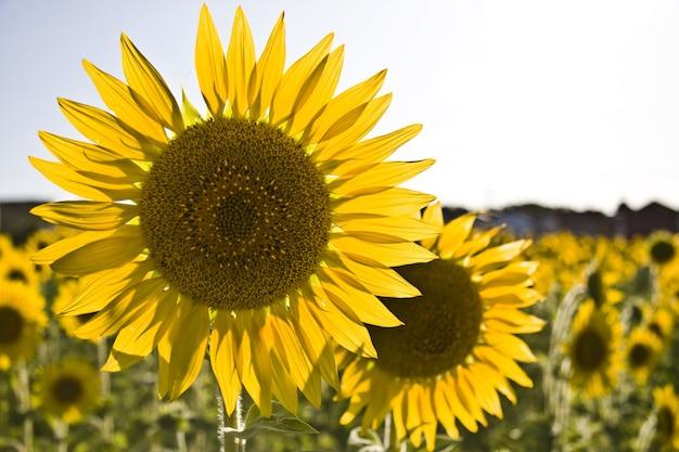 Close de girassóis em um campo sob a luz do sol Foto gratuita