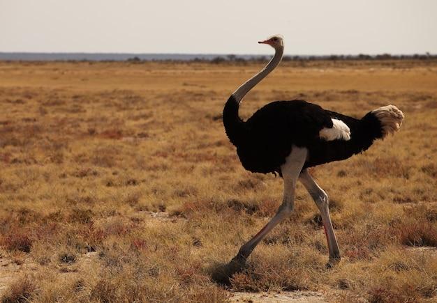 Close de um avestruz correndo na savana gramada na namíbia Foto gratuita