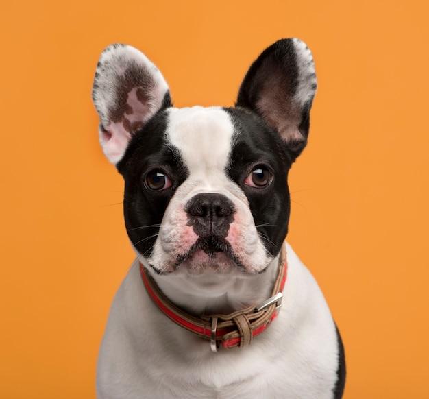 Close de um bulldog francês em frente a uma parede laranja Foto Premium