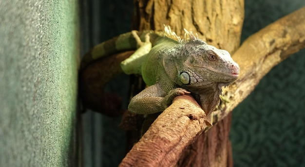 Close de um camaleão de pantera em um galho Foto Premium