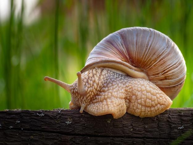 Close de um caracol em uma concha em uma floresta em um parque com grama alta Foto gratuita