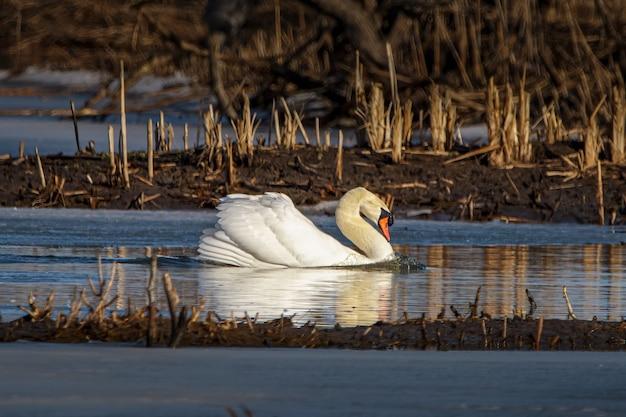 Close de um cisne mudo flutuando em um lago em um campo em um dia ensolarado Foto gratuita