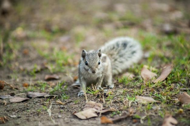 Close de um esquilo cinza no chão Foto gratuita