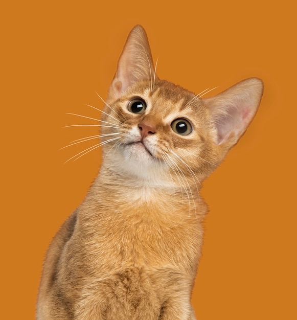 Close de um gatinho abissínio olhando para cima em uma laranja Foto Premium