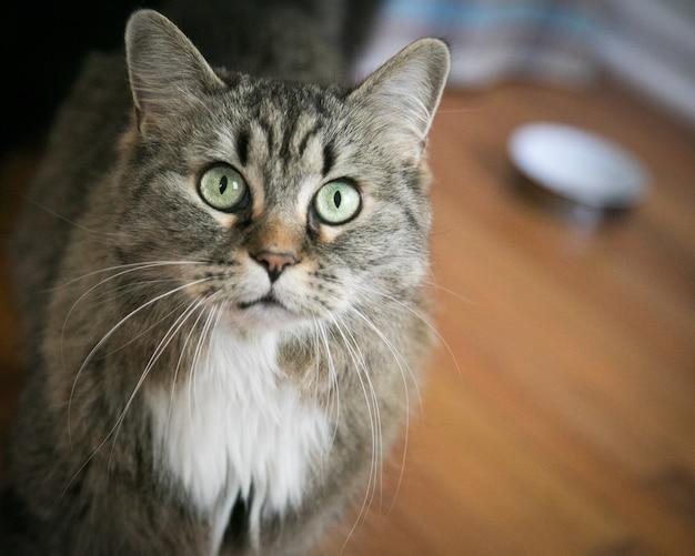 Close de um gato doméstico surpreso no chão sob as luzes Foto gratuita