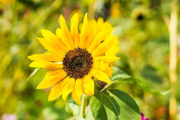 Close de um girassol em um jardim sob a luz do sol com um fundo desfocado Foto gratuita