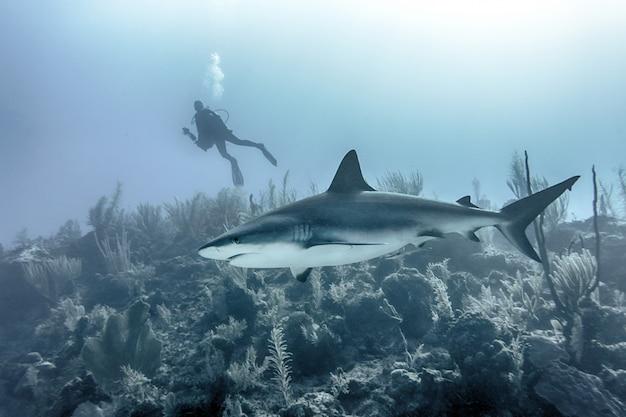 Close de um grande tubarão nadando embaixo d'água sobre recifes com um mergulhador ao fundo Foto gratuita