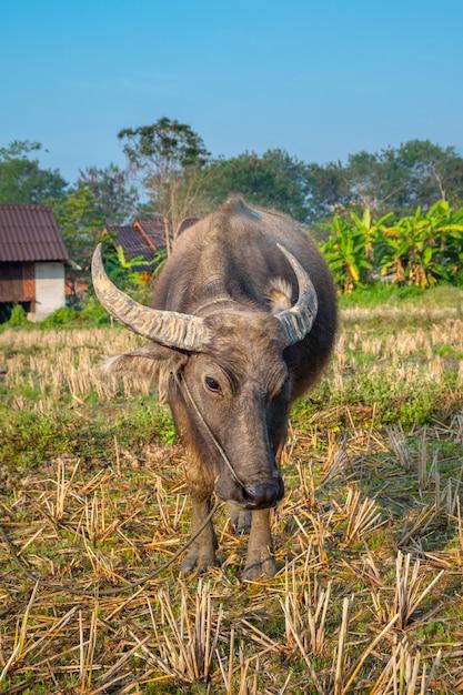 Close de um jovem búfalo parado no pasto com a aldeia ao fundo. pai, tailândia. Foto Premium