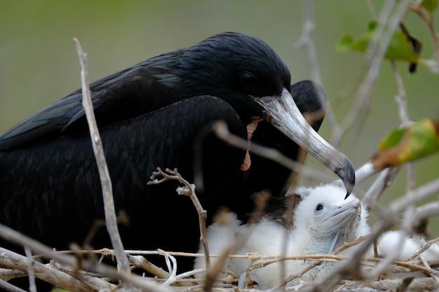 Close de um melro no ninho perto dos passarinhos com turva Foto gratuita