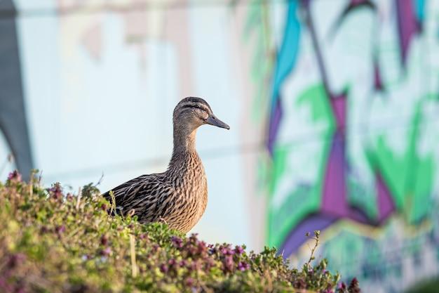 Close de um pato selvagem marrom cercado pela grama sob a luz do sol Foto gratuita