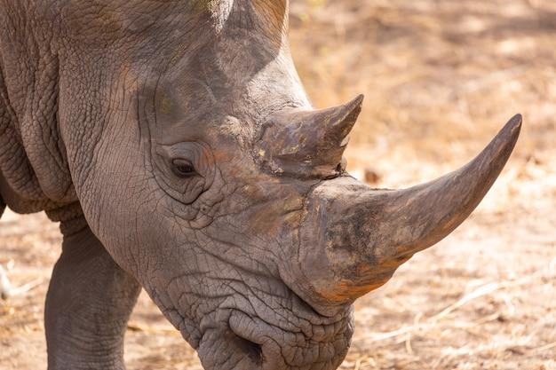 Close de um rinoceronte cinza com grandes chifres de pé no chão Foto gratuita
