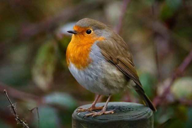 Close de um robin europeu sentado em uma floresta em um jardim Foto gratuita
