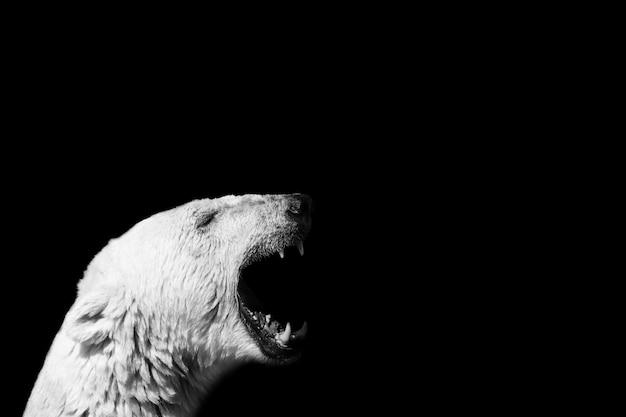 Close de um urso polar gritando Foto gratuita