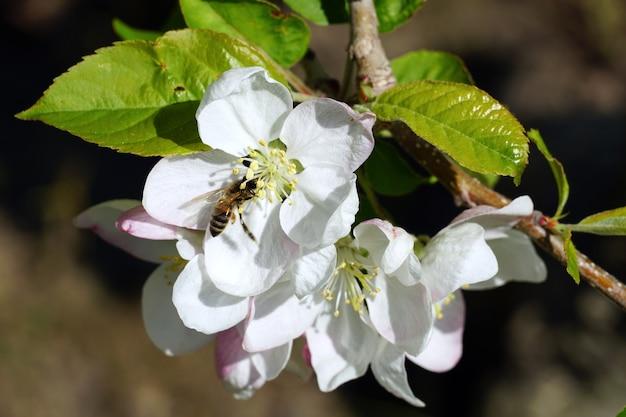 Close de uma abelha coletando néctar de uma flor de cerejeira branca em um dia ensolarado Foto gratuita