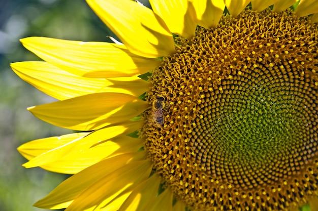 Close de uma abelha em um girassol em um campo sob a luz do sol Foto gratuita