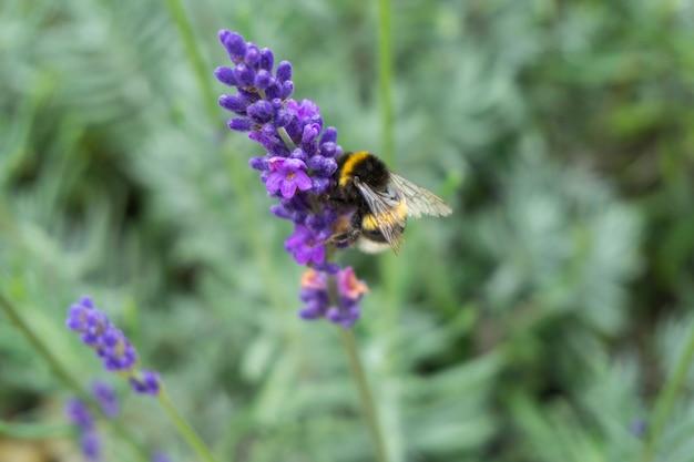 Close de uma abelha em uma flor roxa de lavanda Foto gratuita